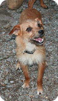 yorkie rescue arkansas benton ar yorkie yorkshire terrier feist mix meet 6570