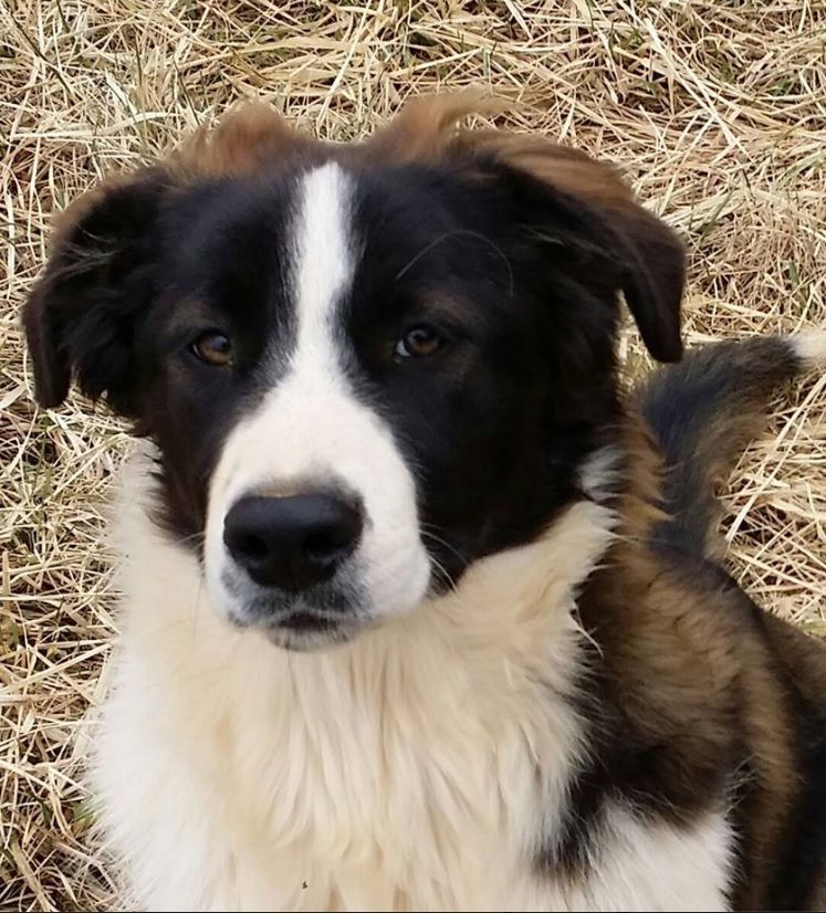 Duncan English Shepherd Red Seal And White Herding Breed