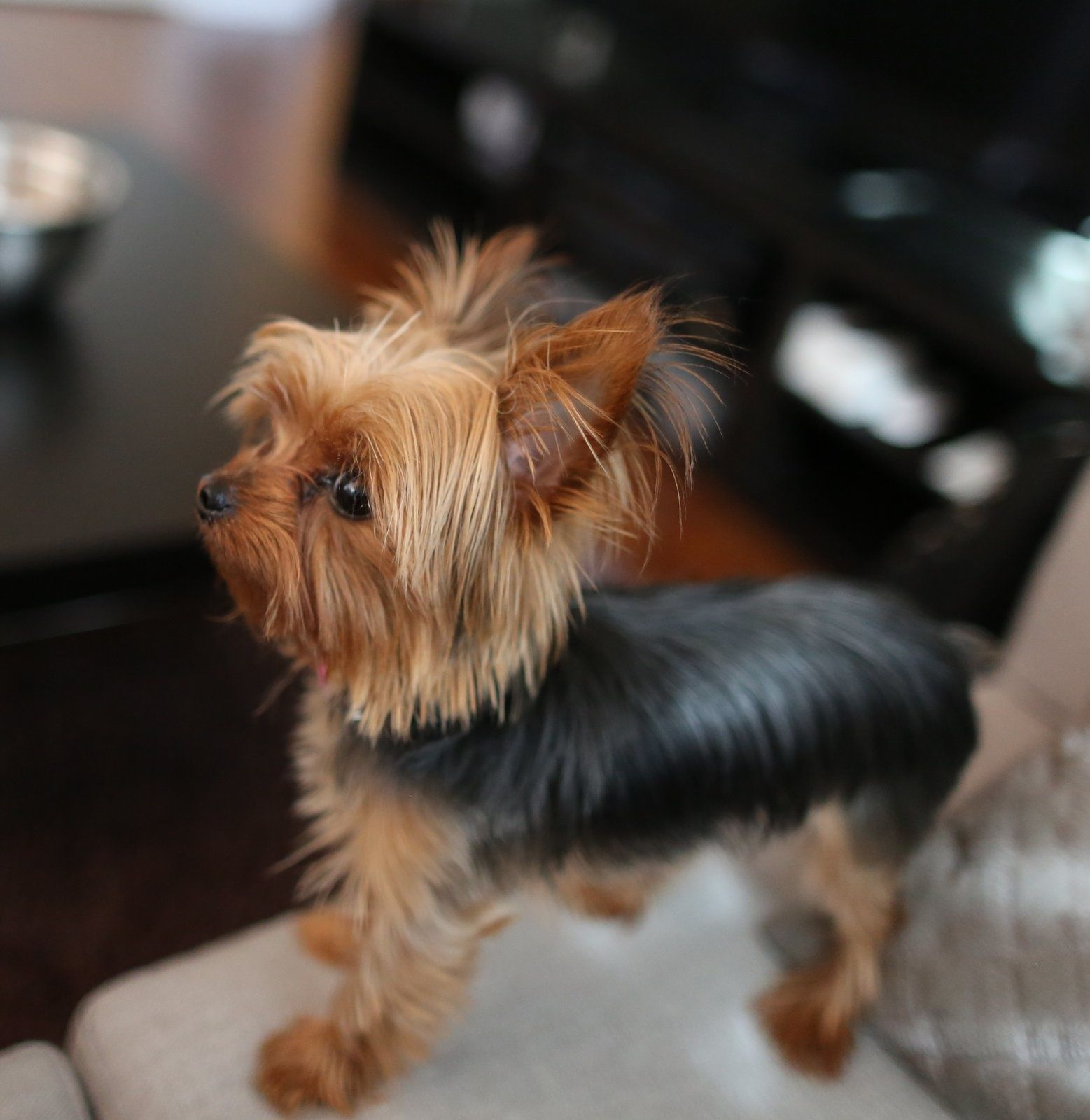 Adorable Tiny Yorkie I My Yorkie Pinterest Yorkie