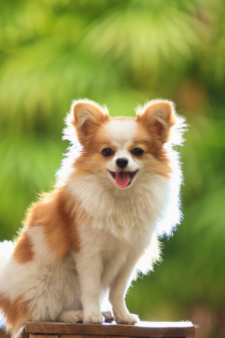 Chihuahua Cute And Mischievous Sitting Outdoors The Background Is Green Leaves Natural Colors Smallest Dog New Puppy In 2020 Chihuahua Lover Chihuahua Dogs Chihuahua