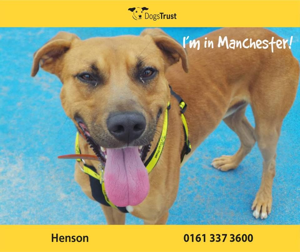 Henson At Dogs Trust Manchester Is An Endearing And Handsome Fella