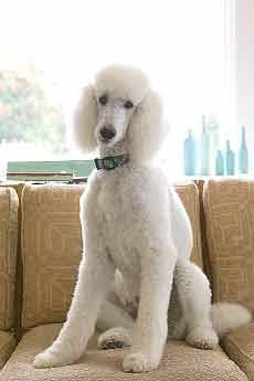 Helpful tips! Scissoring the Poodle Topknot
