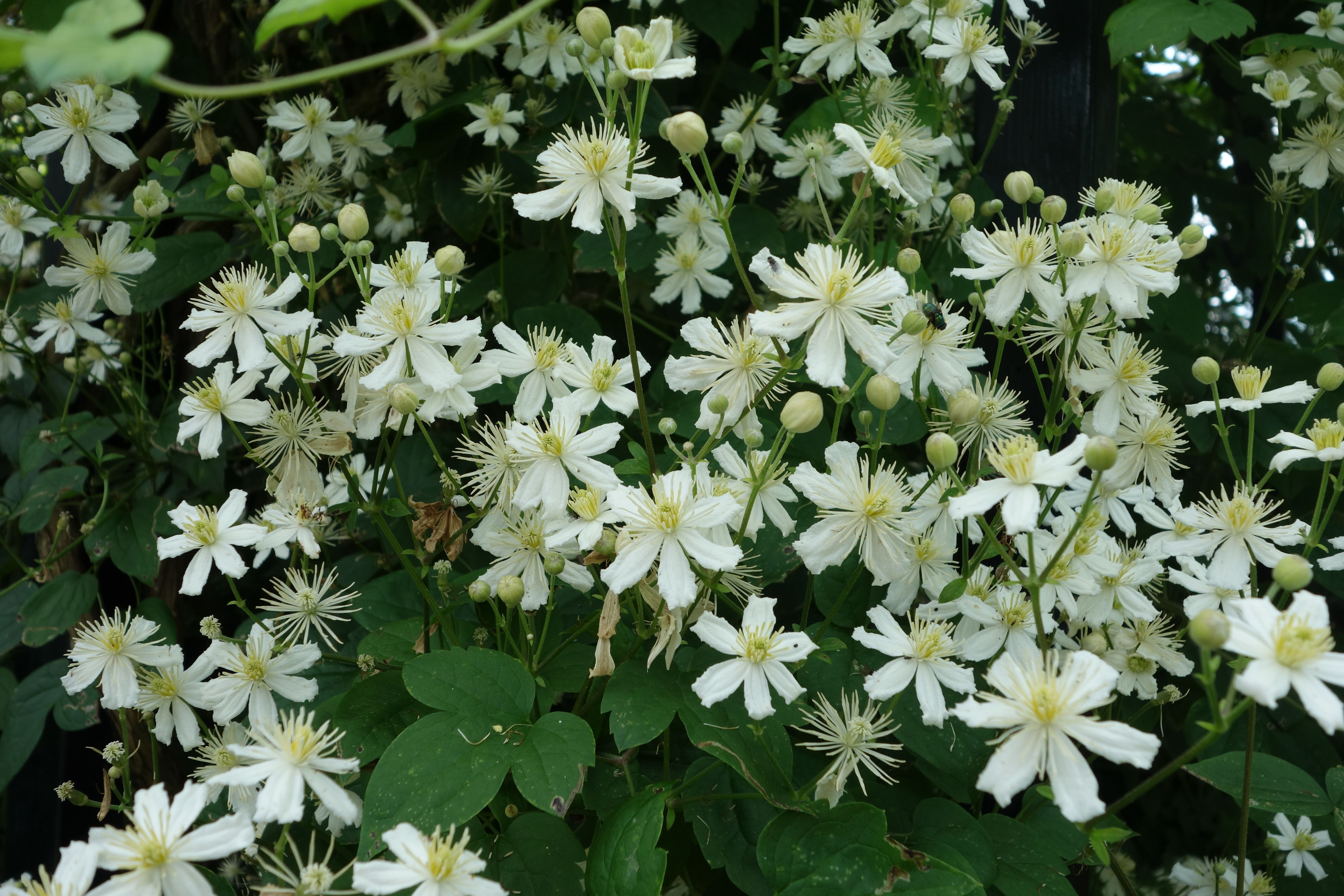 clematis vitalba 39 paul farges 39 summer snow deze. Black Bedroom Furniture Sets. Home Design Ideas