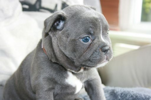 French Bulldog Puppy For Sale In Los Angeles Ca Adn 24442 On