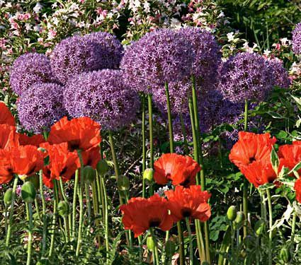 Allium Poppy Collection Allium Flowers White Flower Farm Plants