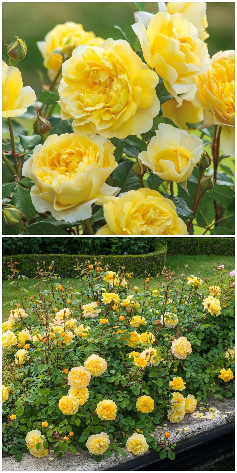 Die Leuchtend Gelben Bluten Der Englischen Rose The Poet S Wife Auswhirl Verspruht Einen Intensiven Zitronenduft In Eu Englische Rosen Rosen Tom Garten