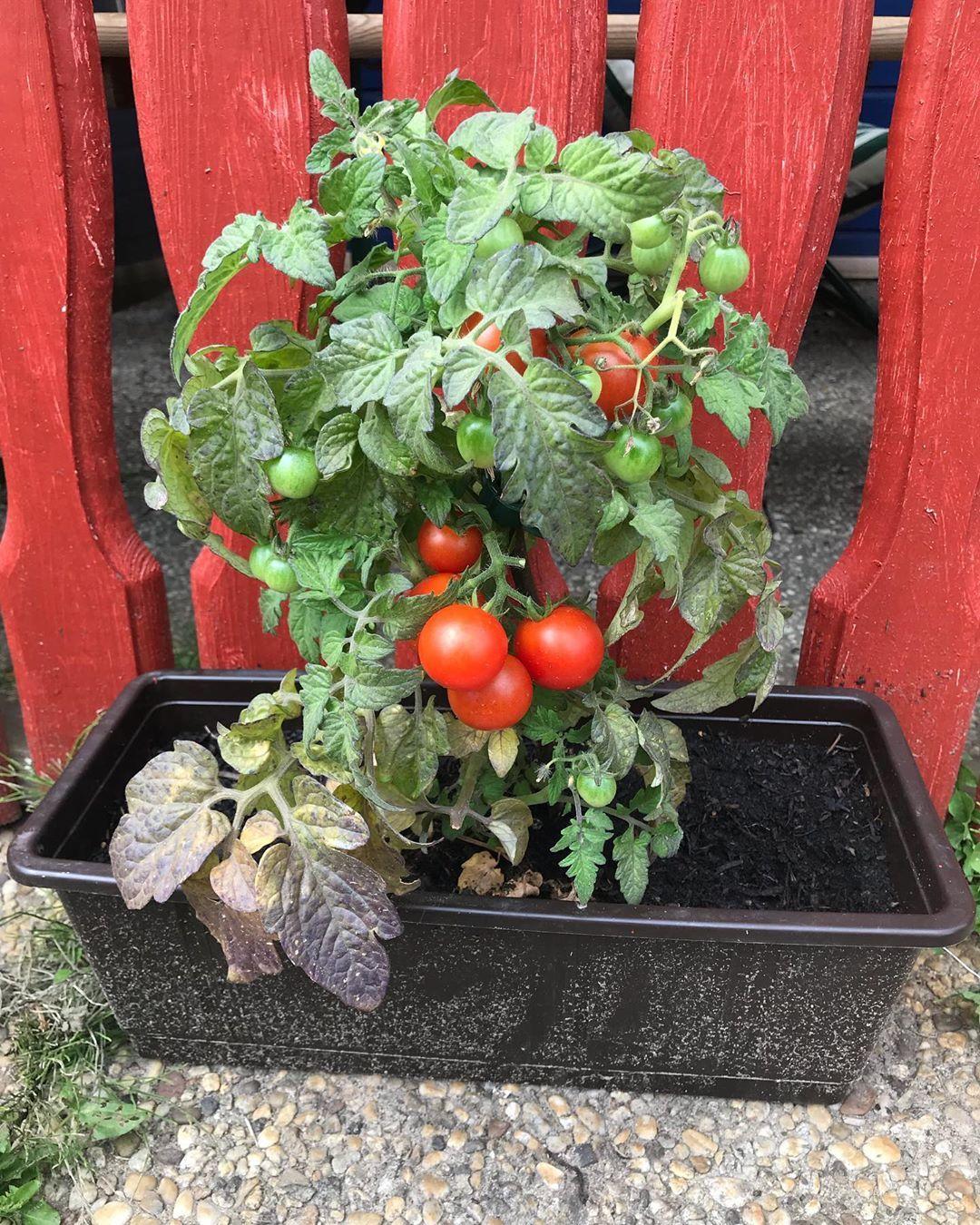 Bereit Zum Ernten Lecker Sind Sie Frische Tomaten Aus Dem Garten Tomaten Tomatenpflanze Stolzaufmich Garten Gart Garten Ideen Garten Gartenverein
