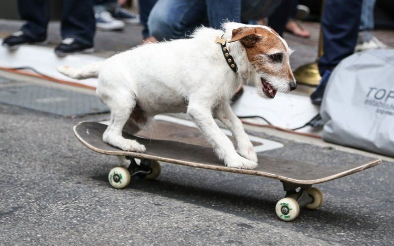 Uggie the skateboarding Jack Russell