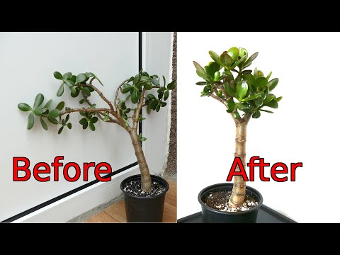 199 How To Prune And Straighten A Jade Plant Crassula Ovata Youtube In 2021 Crassula Ovata Jade Plant Pruning Plants