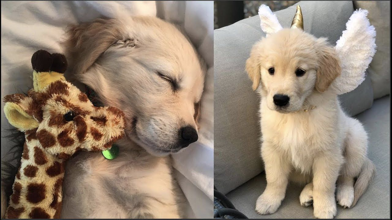 Funny And Cute Golden Retriever Puppies Compilation 40 Golden