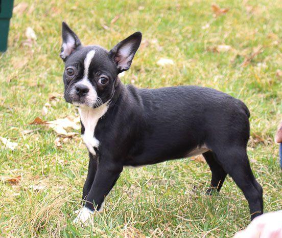 Barbie AKC Boston Terrier female doggie for sale near