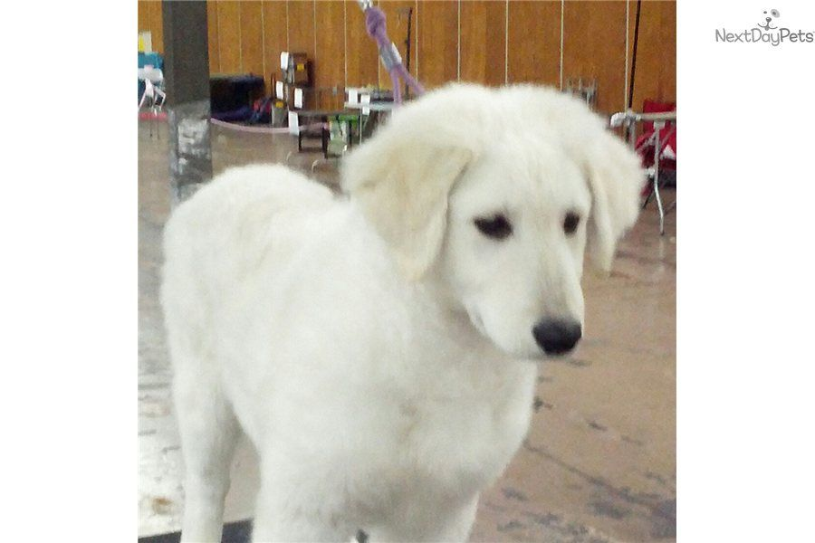 I Am A Cute Kuvasz Puppy Ready To Show Glacier Creek Kuvasz