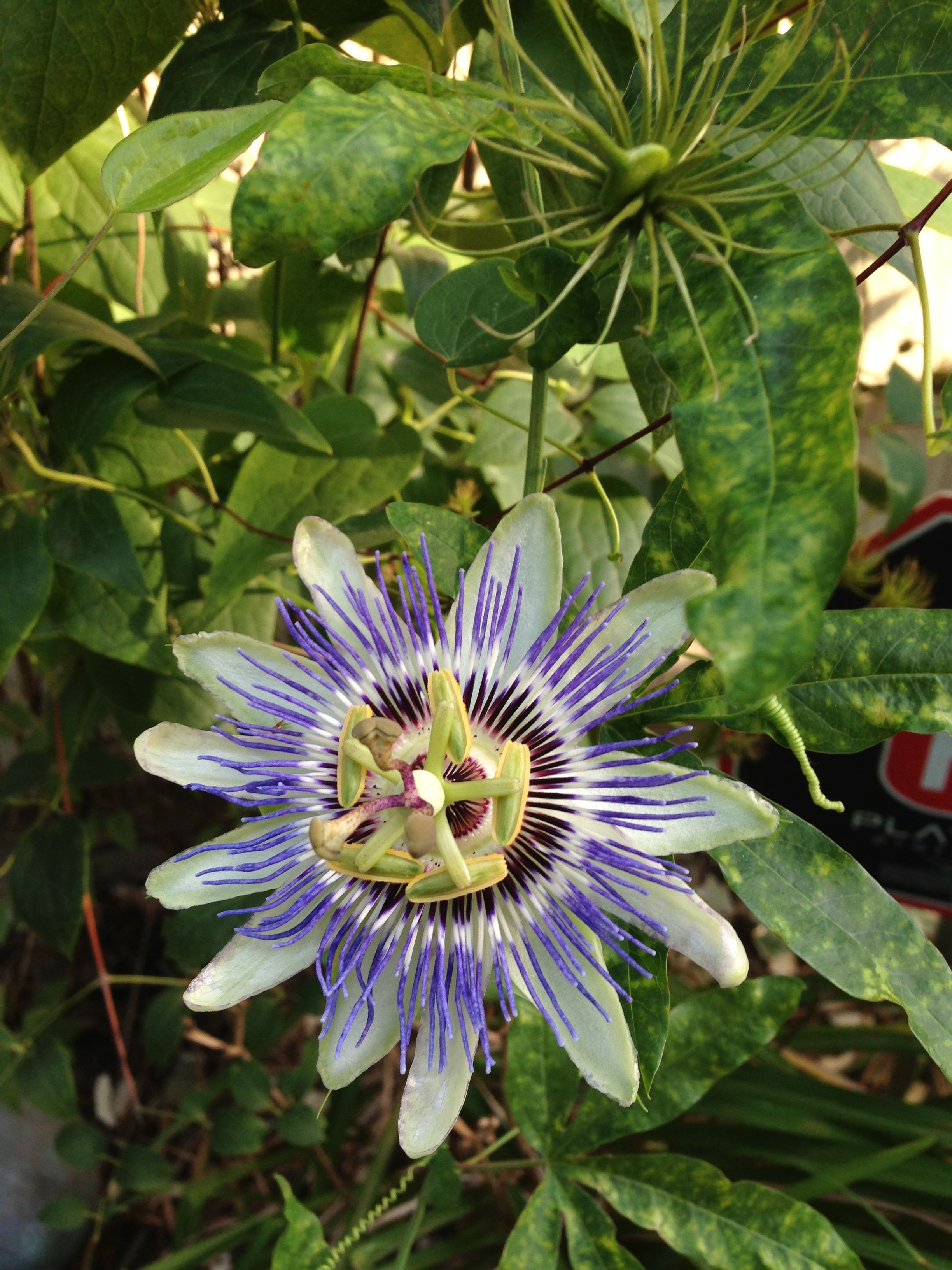Passion flower vine Crochet Inspiration