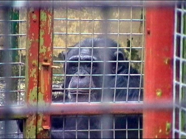 Keeping an intelligent, complex and social animal like a chimp in a UK zoo does nothing to protect his relatives threatened in the wild