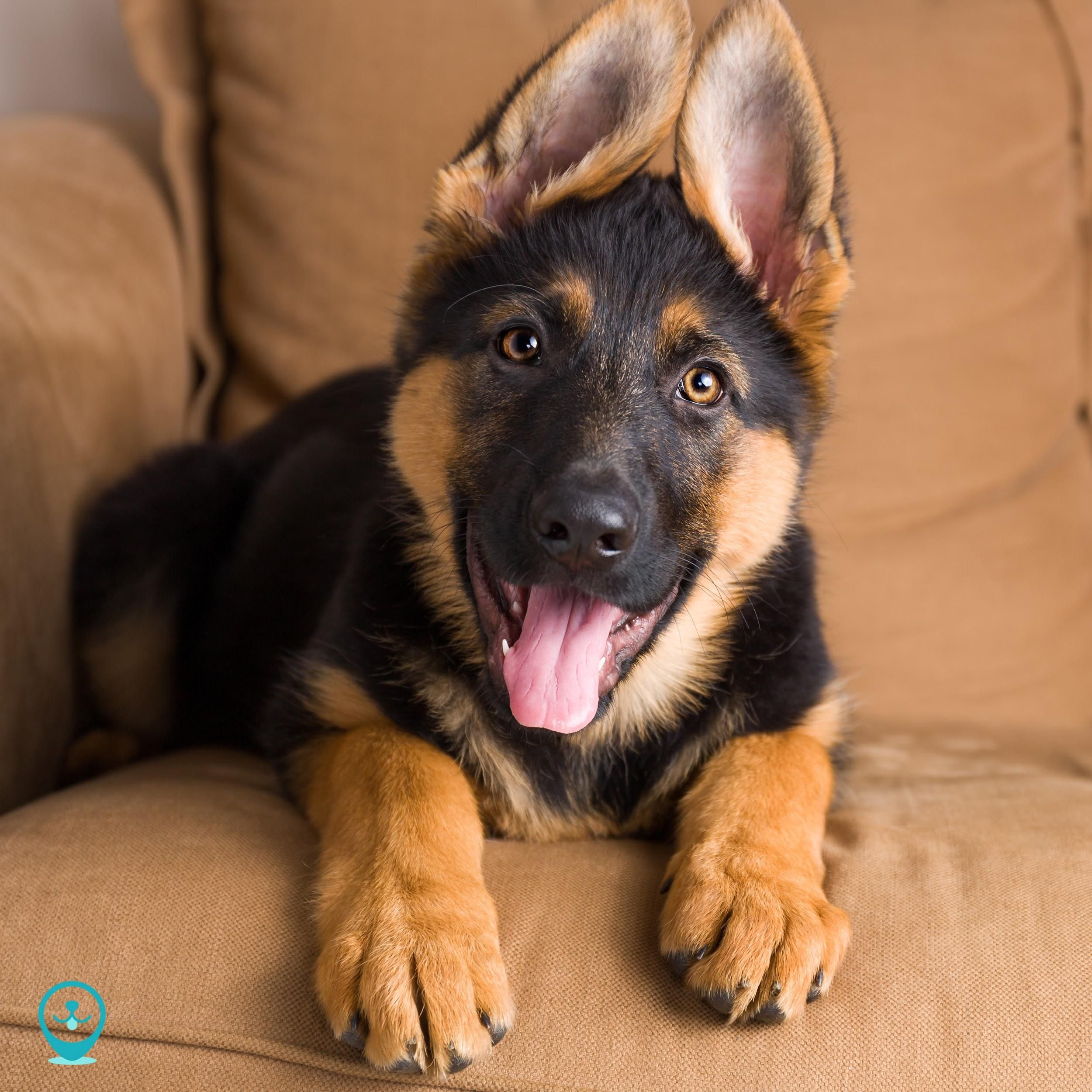 The Best Large Breed Dogs For Apartment Living