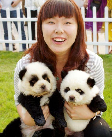 Dogs Painted As Animals Panda Dog Panda Puppy Dog Costumes