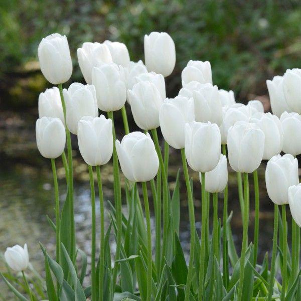 unter den spätblühern ist 'maureen' die beste weiße tulpe für den,