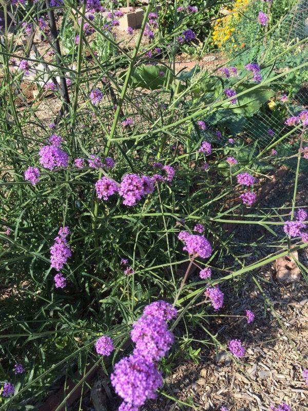 Free Plant Identification Small Purple Flowers Perennials Purple Flowers