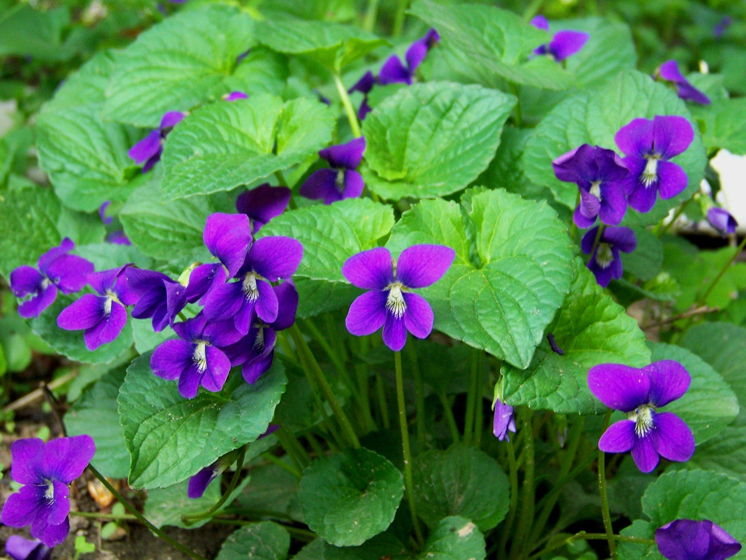 Common Purple Garden Flowers wild violets | violets, flowers and plants