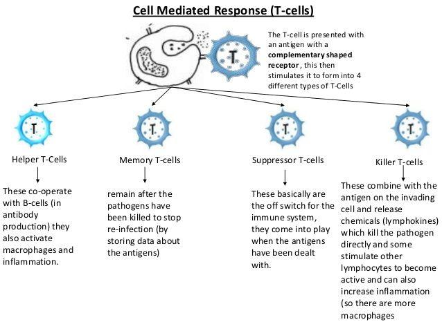 Image result for chart of  cell types also pharmachem pinterest rh