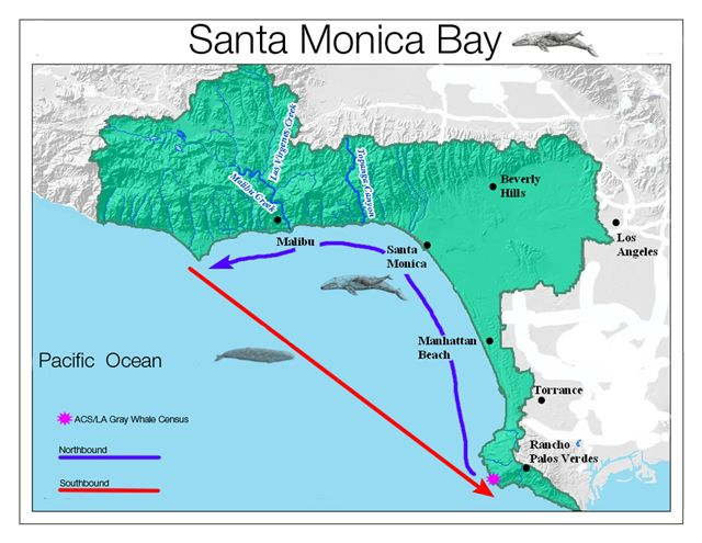 Map showing gray whale routes through Santa Monica Bay Whale of a