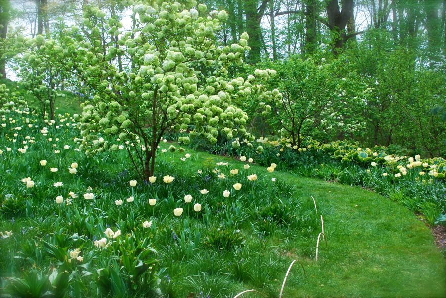 Viburnum macrocephalum and Tulipa 'Akebona' in Chanticleer's Bulb Lawn.