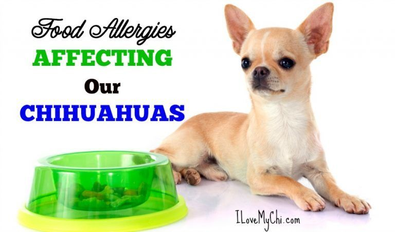 Food Allergies Affecting Our Chihuahuas Chihuahua Dog Food