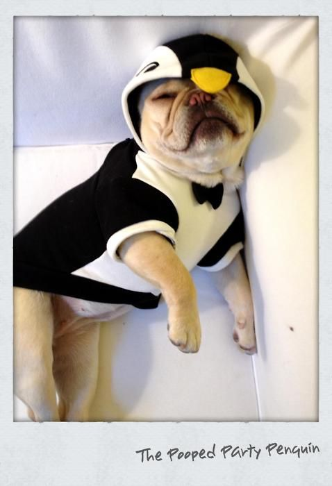 u0027The Pooped Party Penguinu0027 French Bulldog In Costume. & The Pooped Party Penguinu0027 French Bulldog In Costume. | French ...