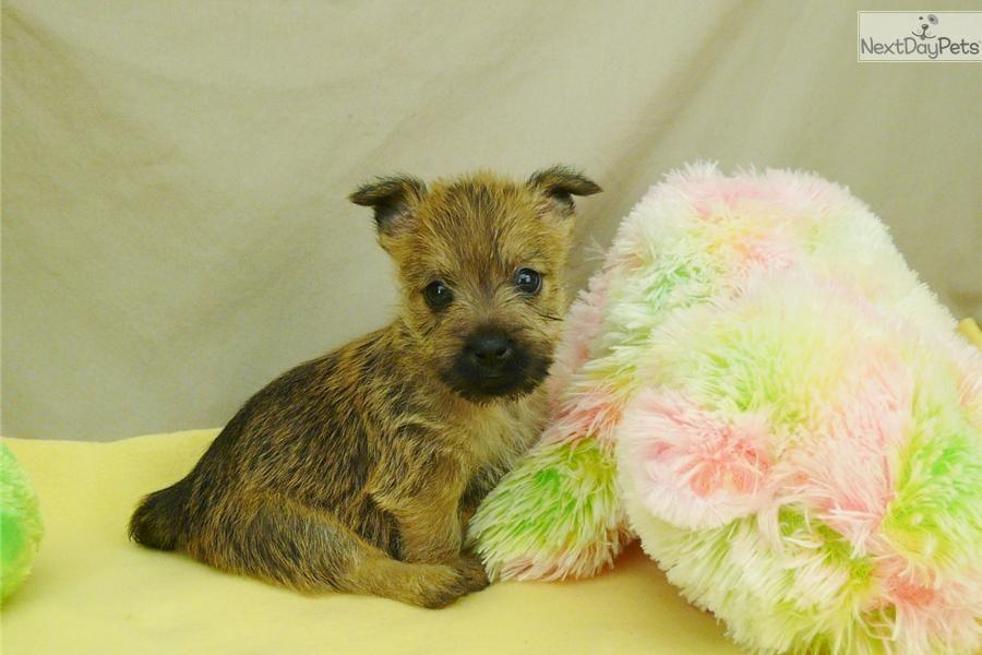 Janelle Cairn Terrier Puppy For Sale Near Southeast Missouri