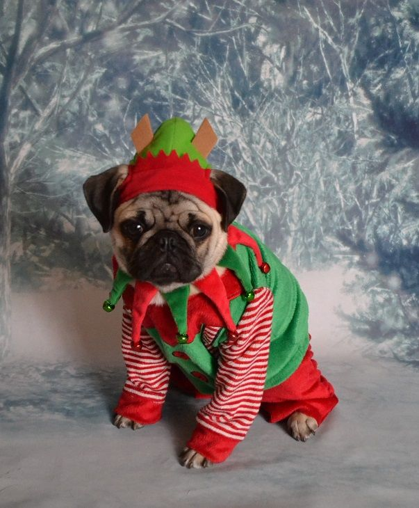 Boo The Pug Elf Santa's Little Helper #pug More More - Boo The Pug Elf Santa's Little Helper #pug €� Pug Pics Pinte…