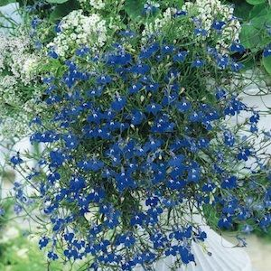 Lobelia Trailing Sapphire Annual Flower Annual Flowers Annual