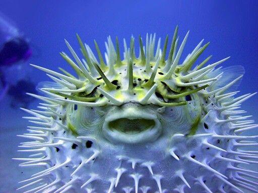 Puffer fish smiling