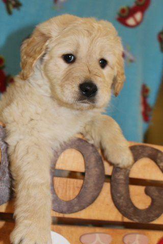Affenpinscher Puppy For Sale In San Francisco Ca Adn 21136 On