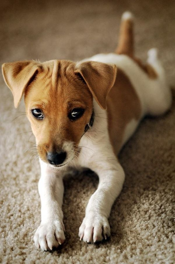 Small Dog Breeds That Dont Shed Jack Russells