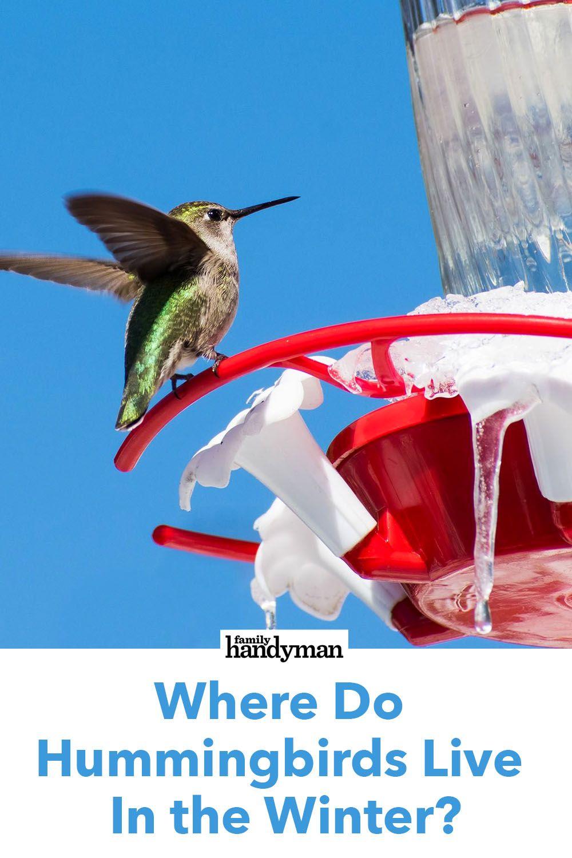 Where Do Hummingbirds Live In the Winter? Humming bird