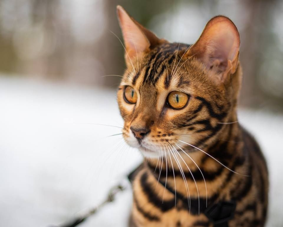 Brown Eyes Male Bengal Cat Roaming At Outdoor Beautiful Cats Cats
