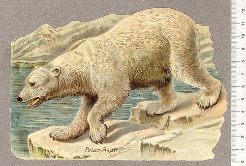 Isbjorn Polar bear, Polar bear on ice, Bear