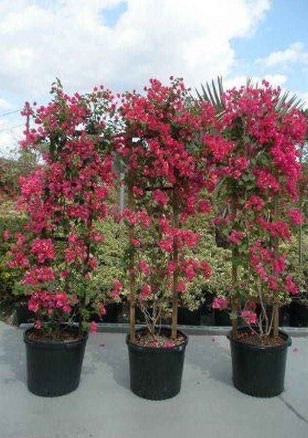 Wonderful Bougainvillea Trellis Ideas Unique Bougainvillea Plant Trellis Trellis Plants Bougainvillea Trellis Garden Landscape Design