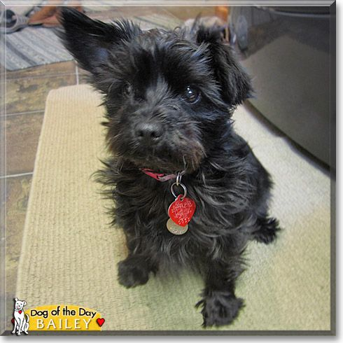 yorkie poo for adoption adorable yorkie poo cute animals yorkie poodle 9495