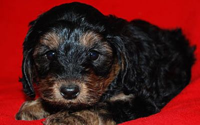 A Black And Tan Phantom Australian Labradoodle Australian