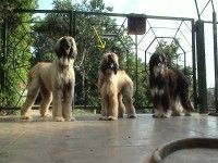 Show Quality Afghan Hound Puppies For Sale In India Afghan Hound