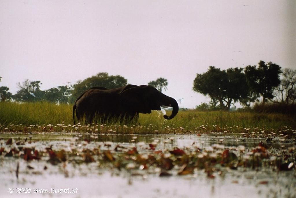 Хорошо слонам в Ботсване. Пей и купайся сколько хочешь! Окаванго Дельта, Ботсвана