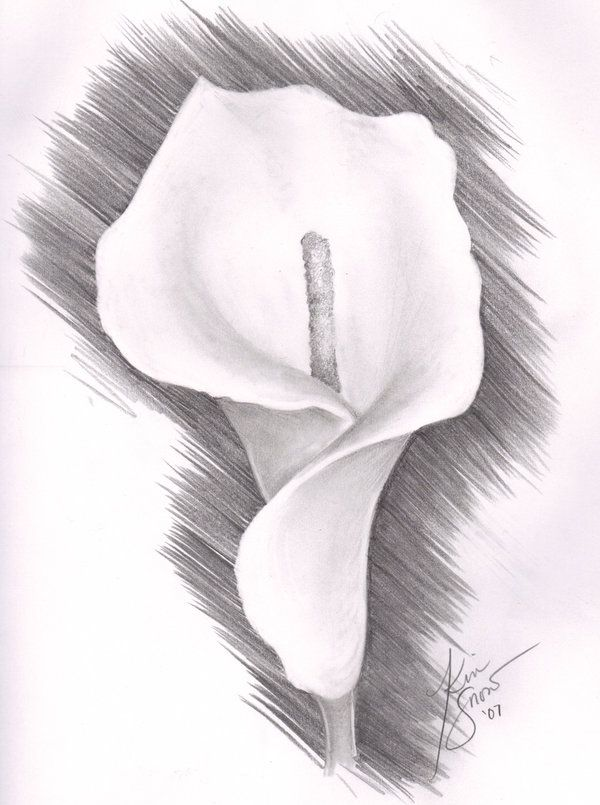 Calla Lily Lilies Drawing Pencil Drawings Of Flowers Pencil Drawings