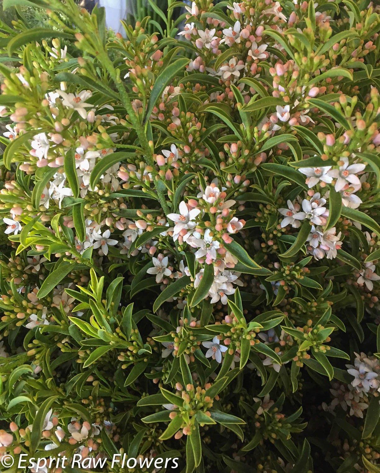 Eriostemon Flower Girl A Great Hardy Filler A Fresh Bushy