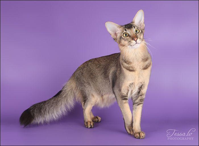 Nipsu Oriental Longhair Brown Ticked Tabby Pretty Cats Brown Cat Cat Character
