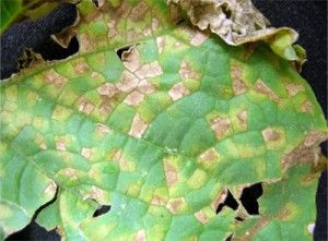 Downy Mildew Got You Down?  What is Downy Mildew, and how to prevent it organically.