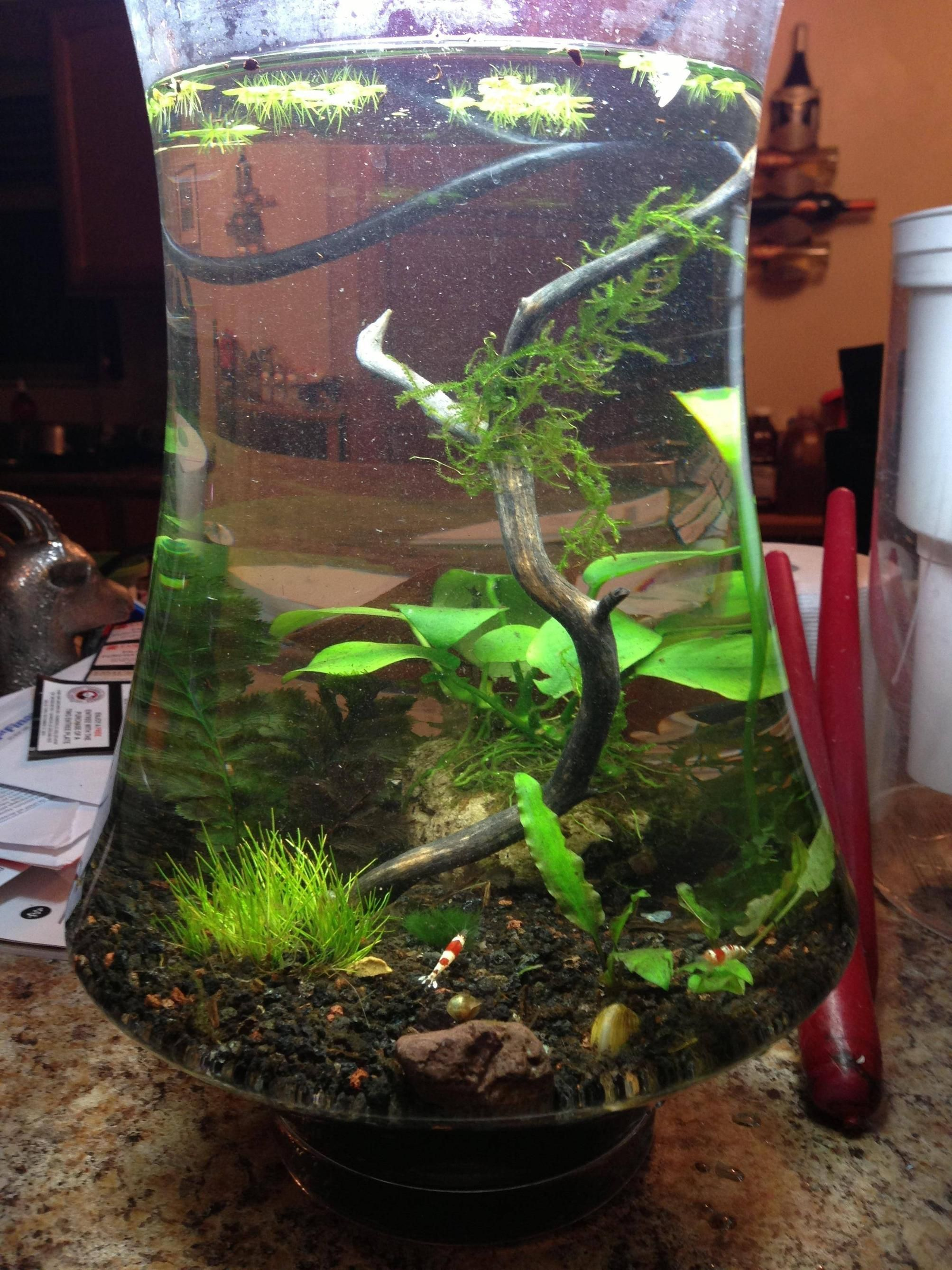 Low tech shrimp bowl aqua baux pinterest tech bowls for Shrimp fish tank