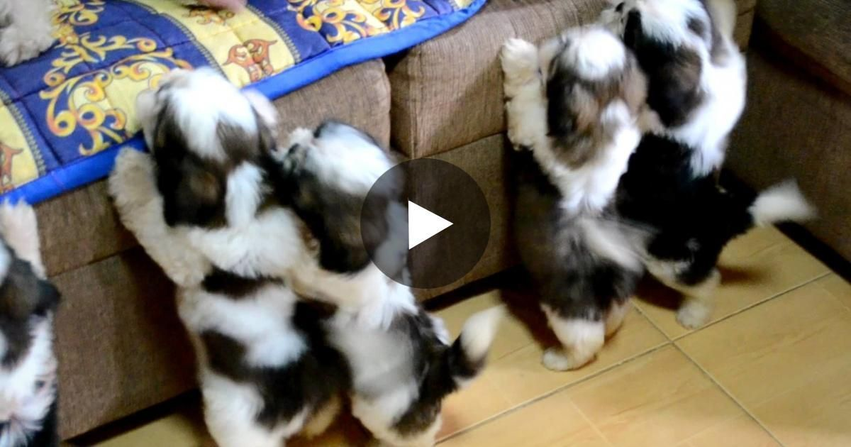 Shih Tzu Puppies Take Their First Bath Ever Their Look Afterwards