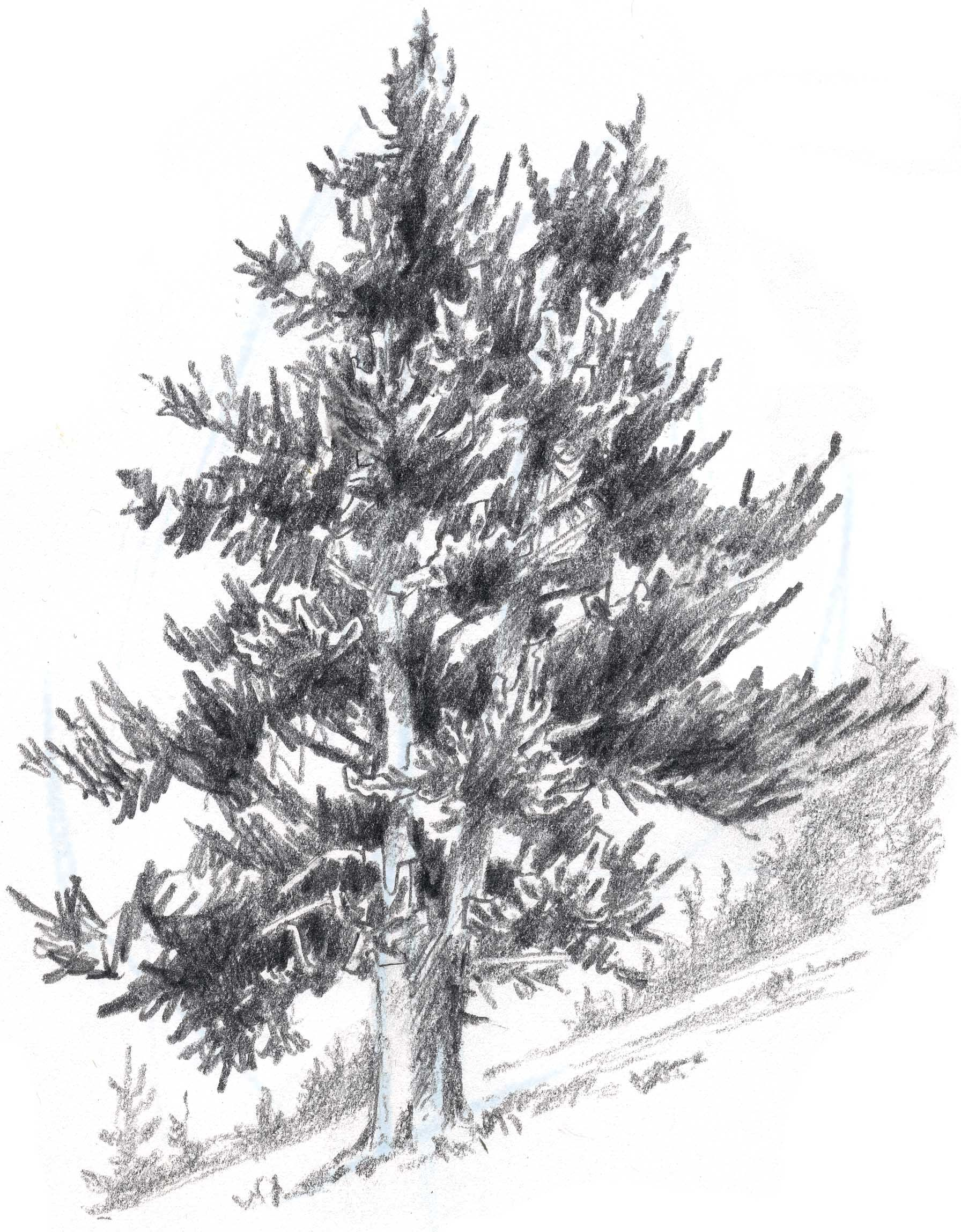 Uncategorized Pine Tree Sketch drawing plants pencil google search how to draw realistic learn trees in this simple step by demonstration of the process and painting a douglass fir