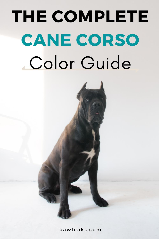 Cane Corso Colors Blue Cane Corso Myth Busted Cane Corso Colors Blue Cane Corso Cane Corso